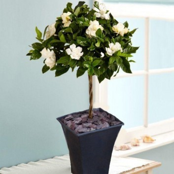 Magnificently Fragranced Topiary Standard Gardenia Tree in Bud supplied with Black Flared Planter