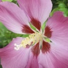 Hibiscus syriacus Woodbridge