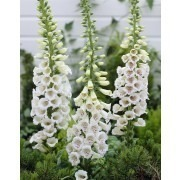 Digitalis purpurea ''Alba''  - Albiflora Snow Thimble White Foxgloves
