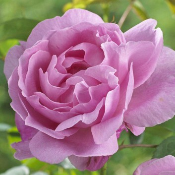 Rose Mary Rose ® - David Austin ® Old English Shrub Rose