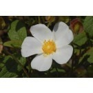 Cistus x Corbariensis (hybridus) - Rock Rose