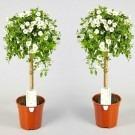 Pair of Beautiful WHITE Flowering Patio Solanum rantonnetii Trees in Bud and Bloom