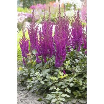 Astilbe Visions in Purple