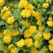 Kerria Japonica pleniflora