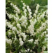 Dicentra Spectabilis Alba - White Bleeding Hearts