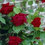 Rose Ena Harkness Climbing Rose