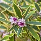 Stunning Daphne odora Marianni - Fragrant Evergreen Variegated Daphne Shrub