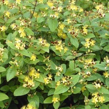 Hypericum inodorum Rheingold - St Johns Wort
