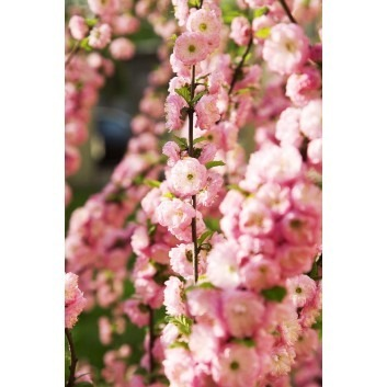 Prunus triloba - Double Flowering Cherry-Almond SHRUB - Pack of Three