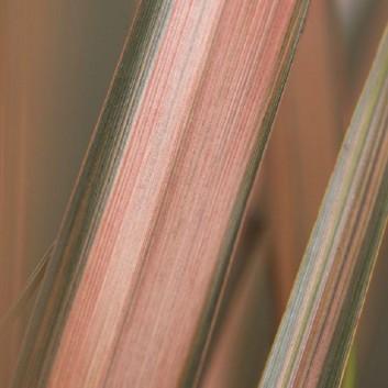 Phormium Pink Panther - New Zealand Flax