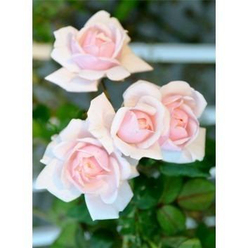 Rose New Dawn - Climbing Rose