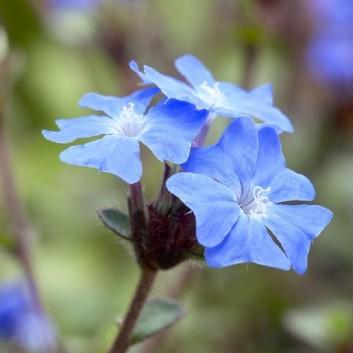Hardy Cobalt-Blue Plumbago Plants - Pack of THREE Ceratostigma griffithii
