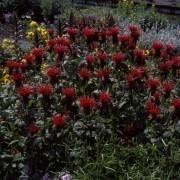 Monarda didyma Cambridge Scarlet  - Bergamot