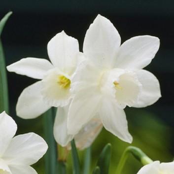 Narcissus Rippling Waters - Daffodil