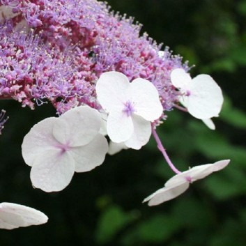 Hydrangea aspera Velvet & Lace - LARGE Sargent Hydrangea - Pack of THREE Plants