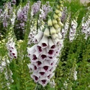 Digitalis purpurea Pams Choice