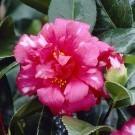 Camellia Nikisi Kerin