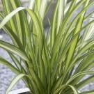 Phormium Cream Delight - New Zealand Flax