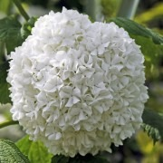 Viburnum opulus roseum - Snowball Tree - Pack of THREE