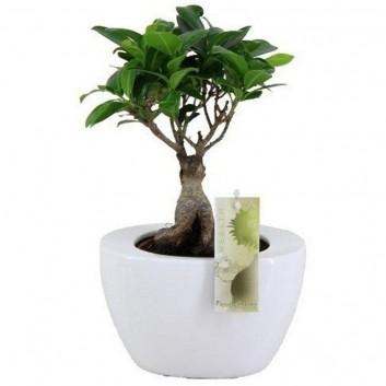 Ficus Ginseng Bonsai in Contemporary White Ceramic Planter