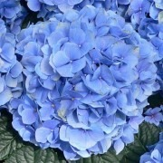 Hydrangea Blue Mophead - Giant Football sized Flowers - Large Plants