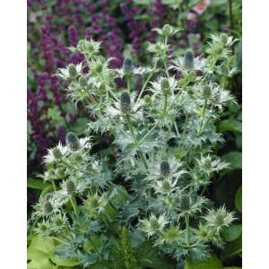 Eryngium giganteum - Miss Willmott's Ghost - Sea Holly