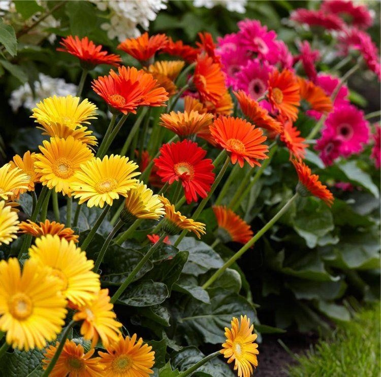 Special deal gerbera plants selection of 3 beautiful hardy gerberas with giant daisy flowers - Hardy office plants ...