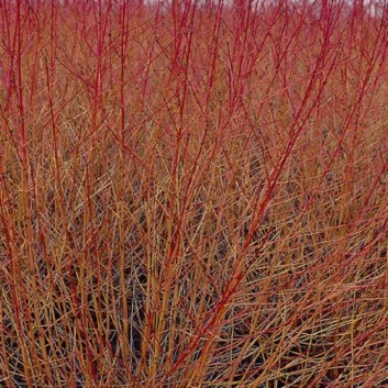 Cornus Midwinter Fire - Winter Beauty Dogwood