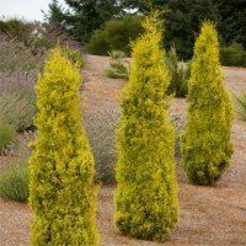 Pair of Golden Van Gogh Tuscan Totem Pole Cypress Trees - Cupressus Trees 100-140cms