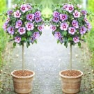 Pair of Patio Standard Hibiscus Trees - Marina Blue