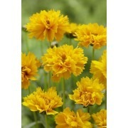 Coreopsis grandiflora Early Sunrise