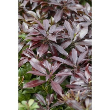 Pieris japonica Katsura