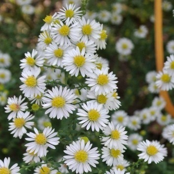 Aster ericoides 'White Heather' - Michaelmas Daisy