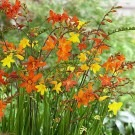 Crocosmia 'Molten Lava' - Mixed shades of Montbretia - Pack of THREE Plants