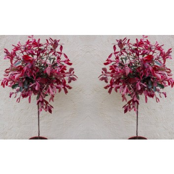 Pair of Hardy Evergreen Photinia Pink Marble Standard Topiary Trees