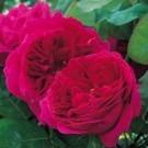 Rose Othello ® - David Austin ® Shrub Rose
