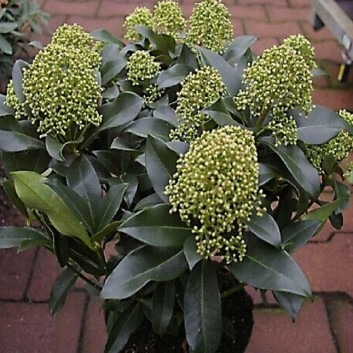 Skimmia japonica Thereza - Pack of THREE Evergreen Plants in Bud