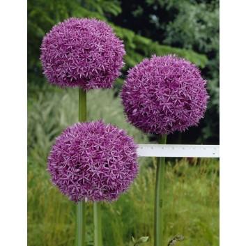 Allium giganteum - Ornamental Onion