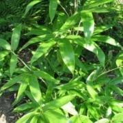Sasa Palmata - Palm Bamboo