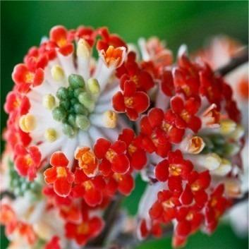 SPECIAL DEAL - Edgeworthia chrysantha Red Dragon