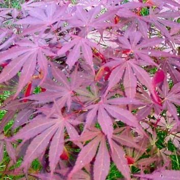 Acer palmatum Suminagashi - Japanese Maple