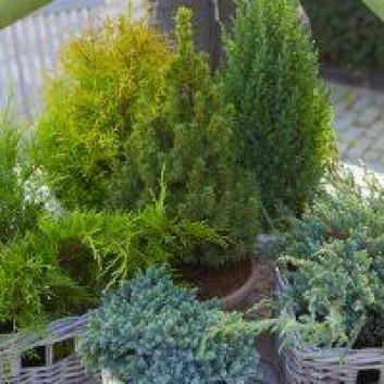 Dwarf Slow Growing Conifers - Collection of 5 Different Contrasting Plants
