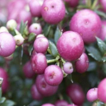 Pernettya mucronata  Rosy Pink - Evergreen Prickly Heath Berry Plants
