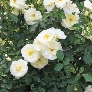 Rose Flower Carpet White