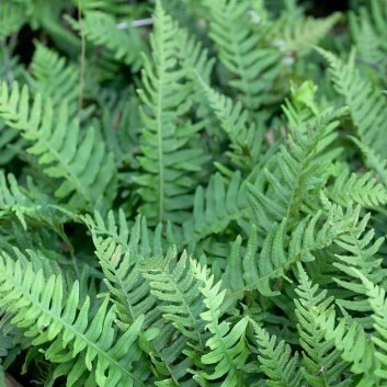 Polypodium vulgare - Common Polypody Fern