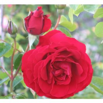 Rose Dublin Bay - Climbing Rose
