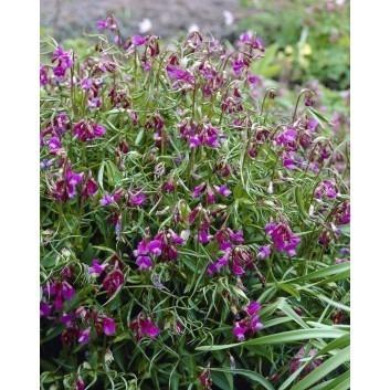 Lathyrus vernus - Spring Pea