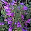 Penstemon heterophyllus Heavenly Blue Springs - Blue Penstemon Beardtongue