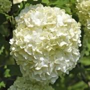 Viburnum opulus roseum - Snowball Tree