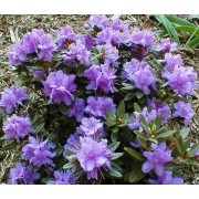 SPECIAL DEAL - Rhododendron Dwarf Blue Silver in Bud & Bloom